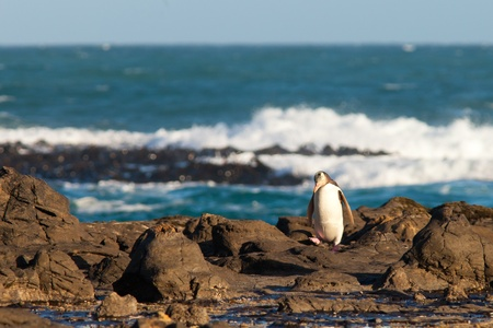 waddling: Adult native New Zealand Yellow-eyed Penguin, Megadyptes antipodes or Hoiho, waddling home to nest over rocky shore with surf of South Pacific Ocean in background