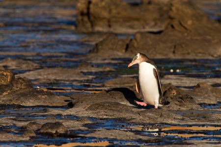 waddling: Adult native New Zealand Yellow-eyed Penguin, Megadyptes antipodes or Hoiho, waddling home to nest site over rocky shore