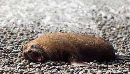 New Zealand fur seal, Arctocephalus forsteri, resting in the sun on gravel beach