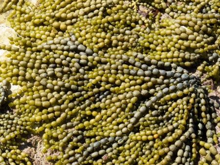 alga marina: Neptunes Collar, Hormosira banksii, también conocida como uva de mar o bubbleweed, patrón de textura de fondo