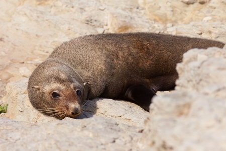 New Zealand fur seal, Arctocephalus forsteri, resting in the sun on coastal rock cliffs Stock Photo - 13797601