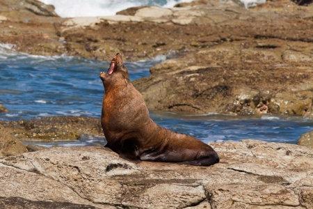 sleek: Funny New Zealand fur seal, Arctocephalus forsteri, howling on coastal rock cliffs with mouth wide open