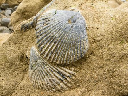 sedimentary: Fossilized mollusk sea shells embedded in sandstone sediment rock Stock Photo