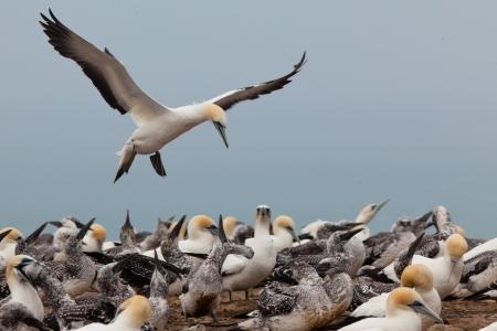 bandada pajaros: Colonia de alcatraces de Australasia, serrator Morus, youngs incipientes y alimentación de las aves adultas Foto de archivo