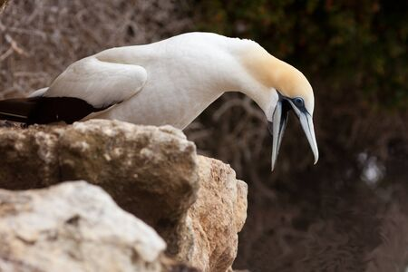 Funny seabird Australasian Gannet, Morus, serrator, Takapu, shouting with beak wide open photo