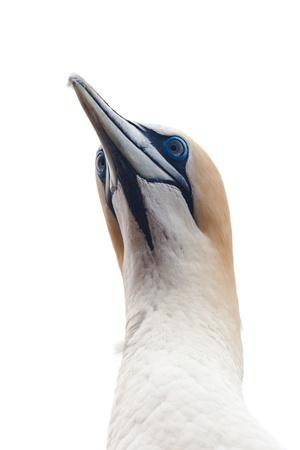 australasian: Portrait head-shot of Australasian Gannet, Morus, serrator, Takapu, isolated on white