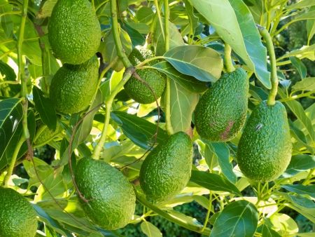 Closeup of cultivated ripe avocado fruits, Persea americana, hanging heavily from tree ready to be harvested as an agricultural crop