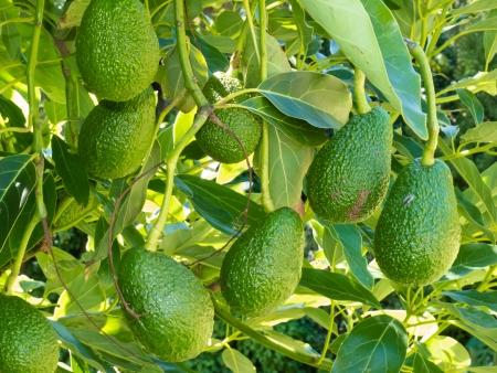Close-up van gekweekte rijpe avocado fruit, Persea americana, opknoping zwaar van boom klaar om geoogst te worden als landbouwgewas Stockfoto