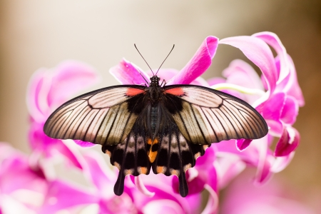 swallowtail: Asian Swallowtail, Papilio lowi, tropical butterfly rests on orchid blossom sucking nectar