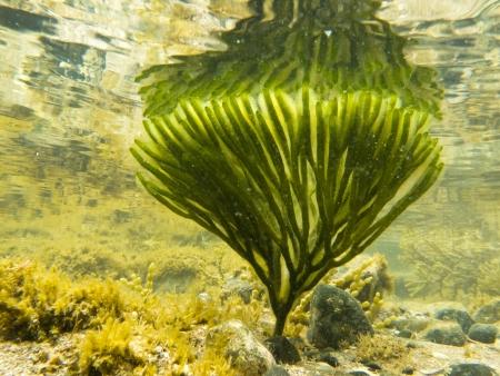 Onderwater schot van diepe groene zeewier met reflectie van onder het wateroppervlak