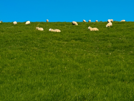 Flock of sheep lazily grazing on green grassy hill with blue sky and lots of copyspace photo