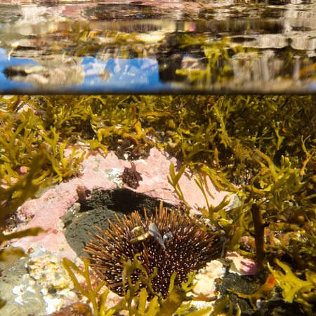 Half underwater half over, over-under split shot of seaweed growth and sea urchin in clear sea water of tidal pool with reflections on surface photo