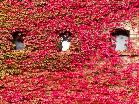 wall covering: Vibrant red fall vine covering the stone wall of a building when the creeping leaves turn a vivid red Stock Photo