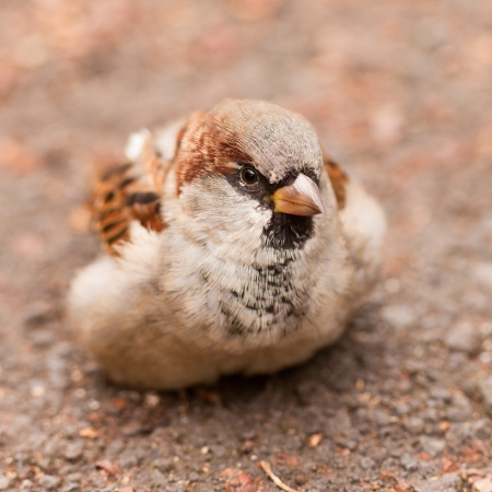 passer by: House Sparrow, Passer domesticus, foraging on the ground for food