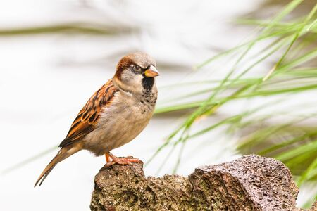 House Sparrow, Passer domesticus, watchfully perching on a rock Stock Photo - 13957724