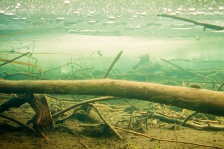 침몰 한 나무와 얼음의 두꺼운 층 밑면이있는 냉동 비버 연못에서 수중 촬영