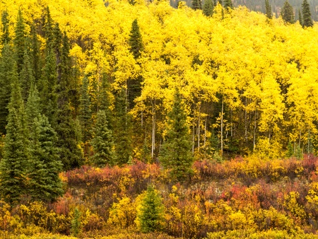 boreal: Golden yellow autumn boreal forest of the Yukon Territory, Canada