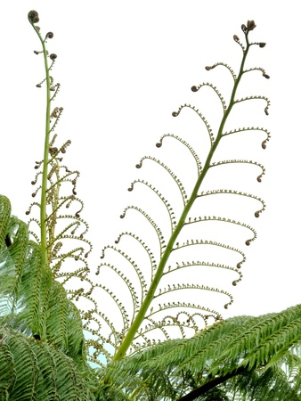 unfurling: Young spring fronds of silver tree fern or ponga, Cyathea dealbata, unfurling to show the wonderful delicate yet intricate patterns of nature isolated on white Stock Photo