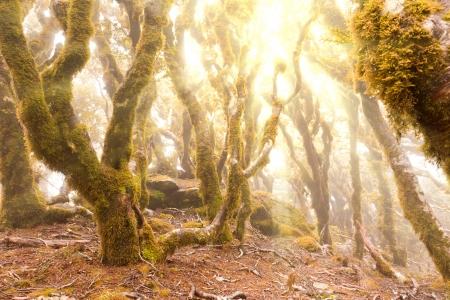 underbrush: Morning sun rays breaking through mists in virgin mountain rainforest wilderness of Marlborough, New Zealand