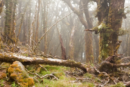 underbrush: Mists in virgin mountain rainforest wilderness of Marlborough, New Zealand