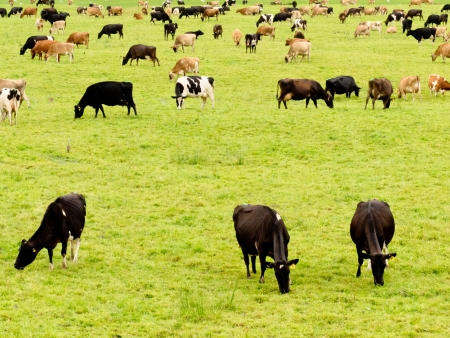 bovine: Herd of cattle resting on ush green meadow pasture