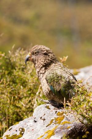 Portrait of endemic New Zealand alpine parrot Kea, Nestor notabilis, with strong curved beak Stock Photo - 14087270