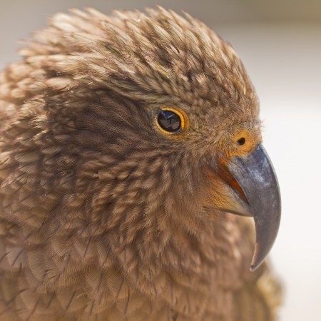 Portrait of endemic New Zealand alpine parrot Kea, Nestor notabilis, with strong curved beak