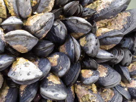 edulis: Fresh seawater mussels attached to a rock exposed by low tide and ready to be harvested for eating
