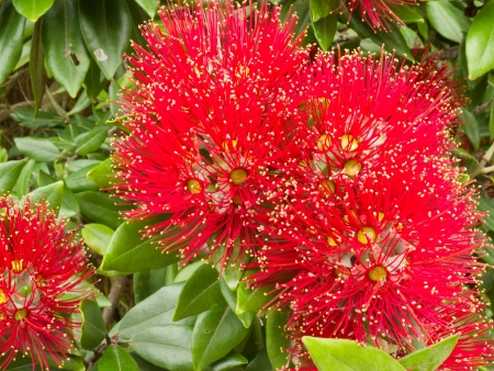 Close-up crimson blossoms of flowering New Zealand tree Pohutukawa, Metrosideros excelsa, also called New Zealand Christmas Tree.