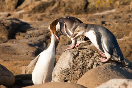 yellow eyed penguin: Adult native New Zealand Yellow-eyed Penguin, Megadyptes antipodes or Hoiho, still feeding its juvenile youngsters with regurgitated fish
