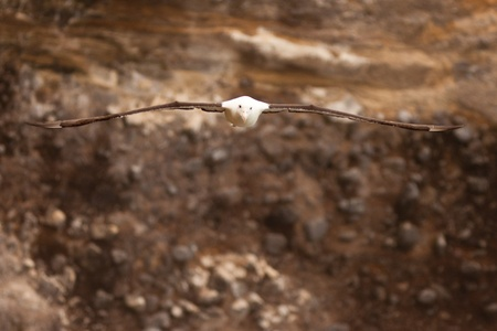 wingspan: Southern Royal Albatross, Diomedea epomophora, swooping by rocky shore cliff with large wingspan