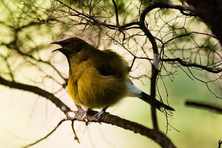 endemic: Endemic New Zealand Bellbird, Anthornis melanura, sitting hidden on tree branch singing full throat