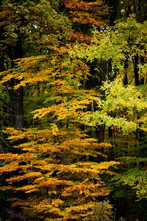 Golden peak of fall colored deciduous forest in October.