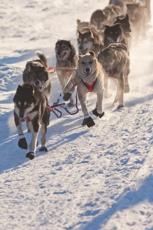 sled dogs: Team of enthusiastic sled dogs pulling hard to win the sledding race. Stock Photo