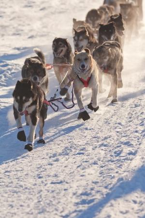 Team van enthousiaste sledehonden trekken hard aan de slee race te winnen.