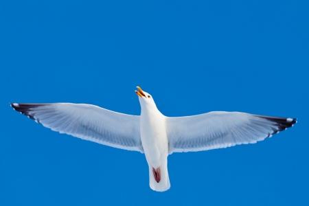 open wings: Calling herring gull(Larus argentatus) with open beak flying in blue sky. Stock Photo