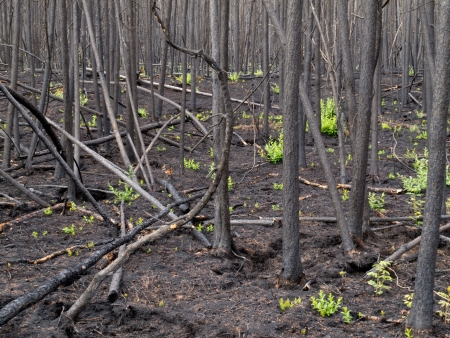 disaster recovery: 2 month after the forest fire: new green is already sprouting among charred logs. Stock Photo