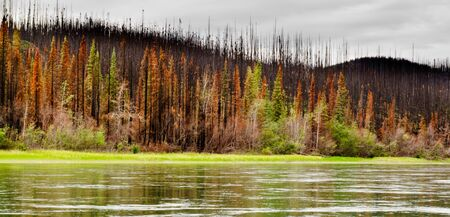 recently: Recently burnt boreal forest at the shore of Yukon River, Yukon Territory, Canada.