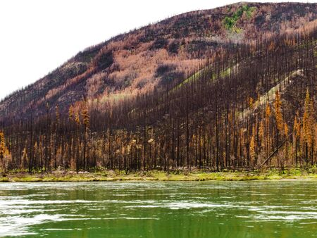 disaster recovery: Recently burnt boreal forest at the shore of Yukon River, Yukon Territory, Canada.