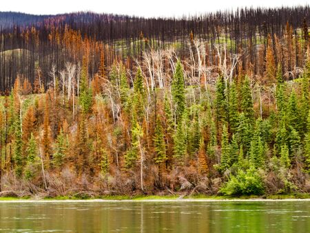 Recently burnt boreal forest at the shore of Yukon River, Yukon Territory, Canada. photo