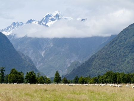 west coast: Sheep grazing on West Coast with Aoraki, Mount Cook, highest peak of Southern Alps, vista backdrop forming an iconic New Zealand landscape