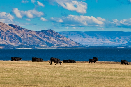 newzealand: Happy cows grazing on green pasture at beautiful Hawea Lake in the Southern Alps of New Zealand