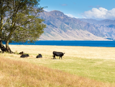 Happy cows grazing on green pasture at beautiful Hawea Lake in the Southern Alps of New Zealand