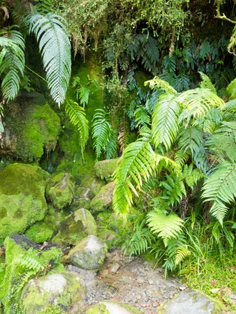 Environmental background of spore forming plants, damp green mossy rocks and lush ferns growing at the base of a shady cliff Banco de Imagens