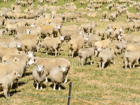 Flock of woolly sheep with heavy fleeces standing close together in a field Stock Photo - 14333942