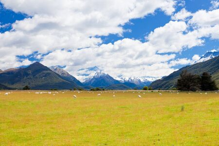 aspiring: Grazing sheep in glacial Rees Dart river valley with Mt Aspiring National Park, Southern Alps, vista backdrop forming an iconic New Zealand landscape