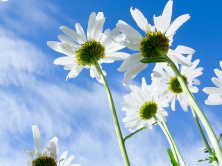 blue daisy: Close up shot of white daisy flowers from below against blue sky with clouds