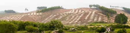felling: Panoramic view of deforested hillside by clearcutting mature Eucalyptus forest for timber harvesttimber Stock Photo