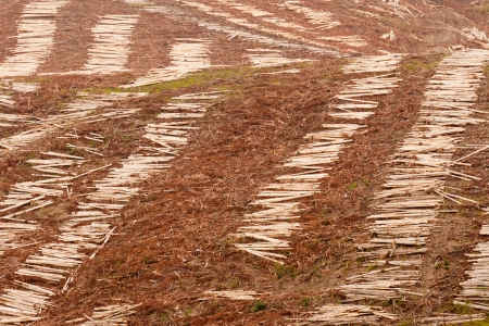 deforested: Panoramic view of deforested hillside by clearcutting mature Eucalyptus forest for timber harvesttimber Stock Photo