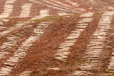 deforestacion: Vista panorámica de las laderas deforestadas por la tala del bosque de eucalipto maduro para harvesttimber de madera
